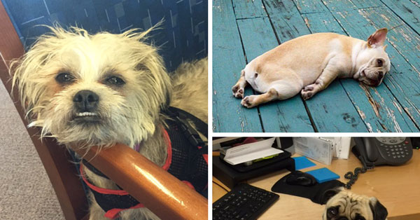 Bad News – Your Dog May Not Like Hanging Out At The Office As Much As You Think